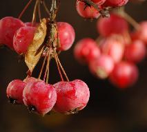 Rajskie jabłuszka: konfitura z rajskich jabłek [przepis]