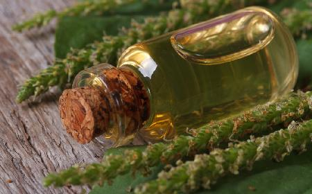 Nalewka sosnowa - przepis na nalewkę z pędów sosny